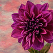 Purple Dhalia Art Print