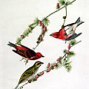 Purple Finch Art Print