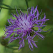 Purple Flower 8 Art Print