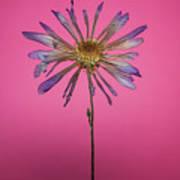 Purple Flower Pink Background Art Print