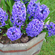 Purple Hyacinth Flowers Planter Art Print