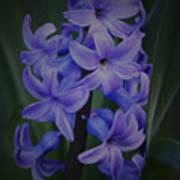 Purple Hyacinths - 2015 D Art Print