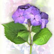 Purple Hydrangea Art Print