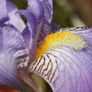 Purple Iris Closeup Art Print