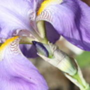 Purple Iris With Focus On Bud Art Print