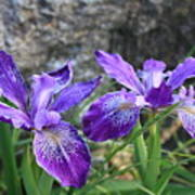 Purple Irises With Gray Rock Art Print