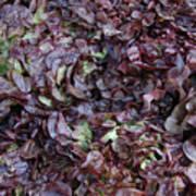 Purple Lettuce   Corsica Art Print