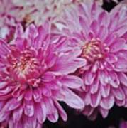 Purple Mums Art Print