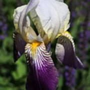 Purple On Purple Iris Art Print