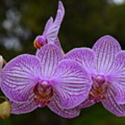 Purple Orchids Art Print