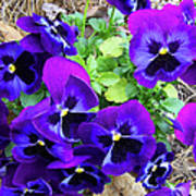 Purple Pansies Art Print
