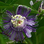 Purple Passion Flower Art Print