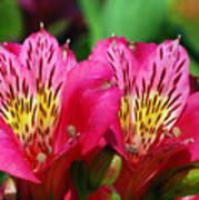 Purple Peruvian Lily Art Print