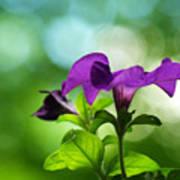 Purple Petunia On A Cool Spring Day Art Print