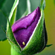 Purple Rose Bud Art Print
