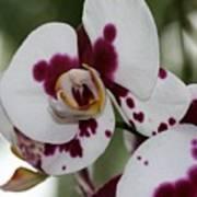 Purple Splash Orchid 3 Art Print