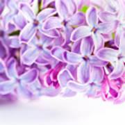 Purple Spring Lilac Flowers Blooming Art Print