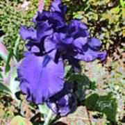 Purple Springtime Iris  Art Print