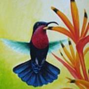 Purple-throated Carib And Bird Of Paradise Art Print