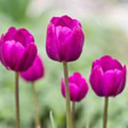 Purple Tulips 1 Art Print