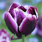 Purple Tulips With Dew Drops On The Outside Of The Petals Art Print