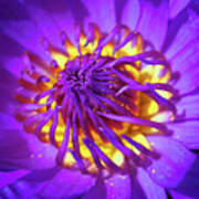 Purple Water Lily Macro Art Print