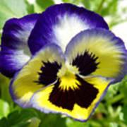 Purple White And Yellow Pansy Art Print