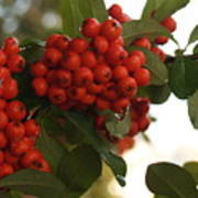 Pyracantha Berries In December Art Print