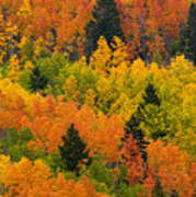 Quaking Aspen And Ponderosa Pine Trees Art Print