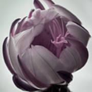 Queen Of The Night In Bloom Art Print