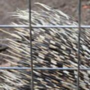 Quills Of An African Porcupine Art Print