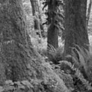 Quinault Rain Forest 3152 Art Print