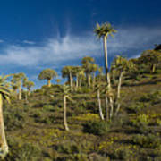 Quiver Tree Forest Art Print