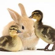 Rabbit And Ducklings Art Print