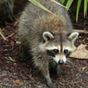 Raccoon Bandit Art Print