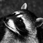 Raccoon Looking Art Print