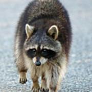 Raccoon On The Prowl Art Print