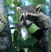 Raccoon--up We Go Art Print