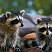 Racoons On The Roof Art Print