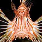 radial Lionfish Pterois radiata Art Print