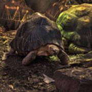 Radiated Tortoise Art Print