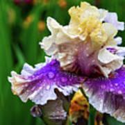 Rain Coated Multi Colored Iris Art Print