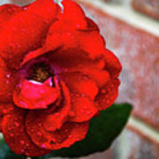 Rain Covered Red Rose Art Print