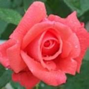 Rain Drenched Rose Art Print