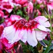 Rain Soaked Dianthus Art Print