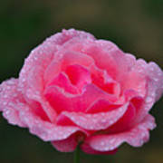 Rain Spattered Rose Art Print