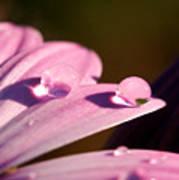 Rain Water On Daisy One Art Print