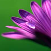 Raindrop On Purple Petal Art Print