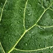 Raindrops On Fiddle Leaf Art Print