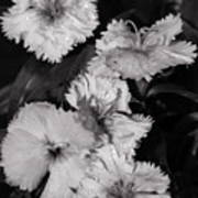 Raindrops On Petals Monochrome Art Print